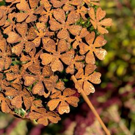 Rusted Hydrangea Flowers