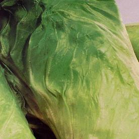Italian Radicchio & Chicory Seeds