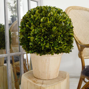Preserved Topiary Ball with Planter