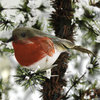 Winter Robin with Clip